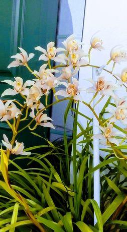 Orquideas em vaso sem flor