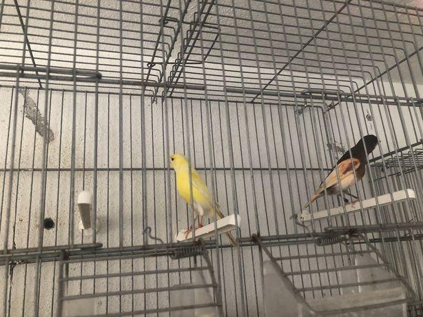 Casal de canarios