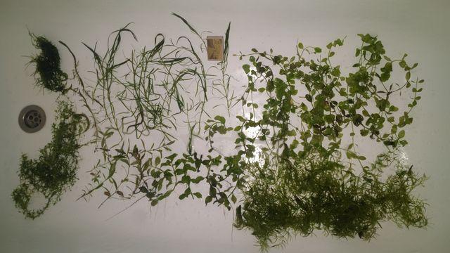 Rośliny (Hydrophila-Bacopa-Ludwigia-Pogostemon-Hemianthus-Myriophyllum