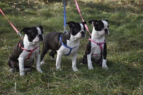 Boston Terrier - mamy szczeniaczki