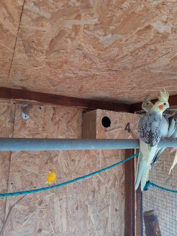 Nimfy młode papugi
