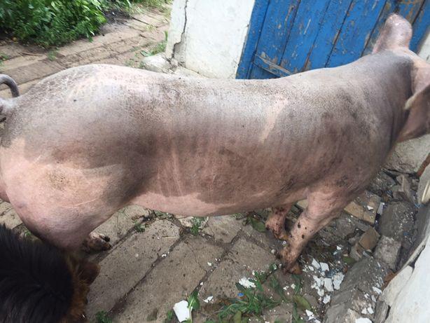 Искуственное осеменение свиней. Спермодоза петрен.