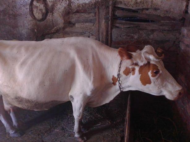 Продам корову з сьомим телям С Лозова винницька об хмельницкий р-н