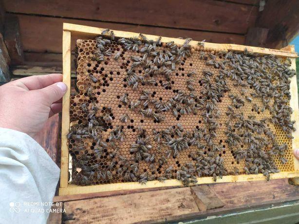 пчелопакеты Украинской степной   породы