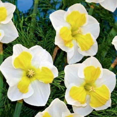 Нарцисс, тюльпан, пролесок