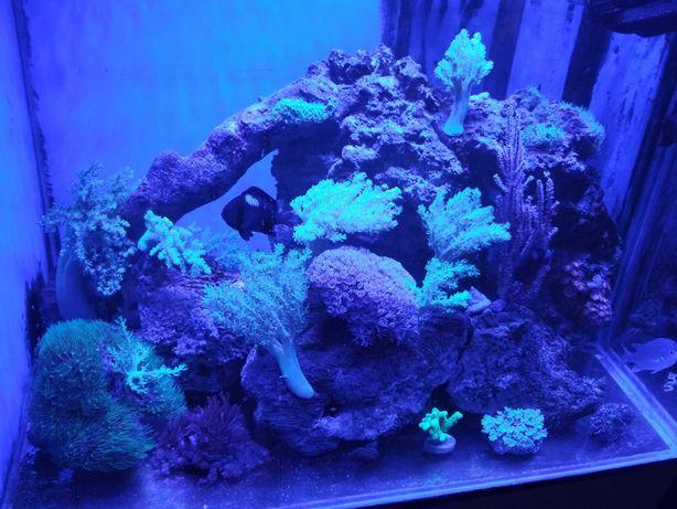 Ryby morskie Dascyllus