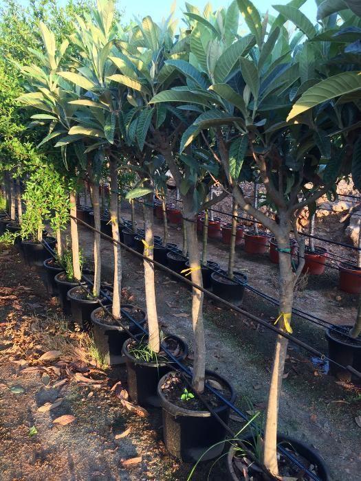 Árvores de Fruta Viana Do Castelo (Santa Maria Maior E Monserrate) E Meadela - imagem 1
