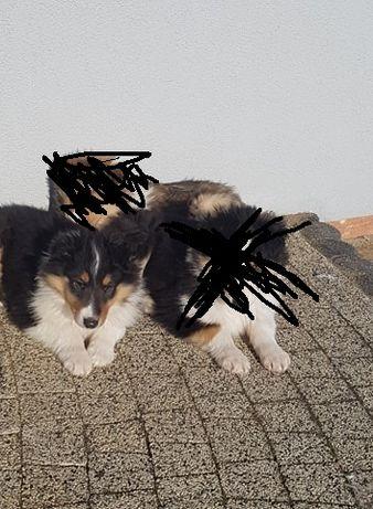 pies owczarek szkocki- certyfikat
