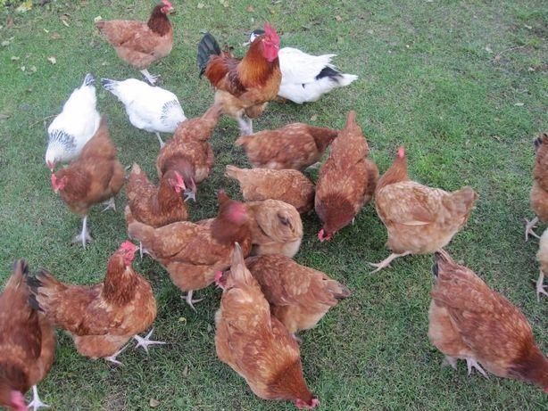 Jajka Jaja wiejskie z wolnego wybiegu bezpośrednio ze wsi