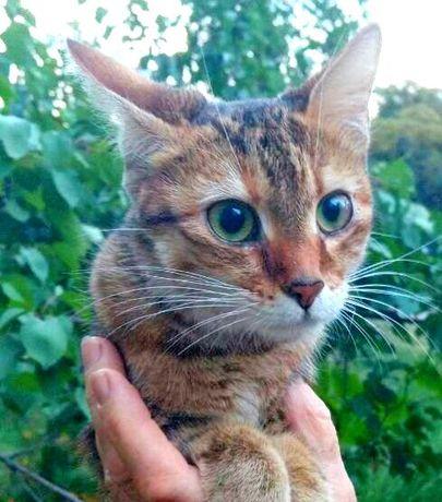 Кошечка, очень добрая домашняя потеряшка, не выживет на улице