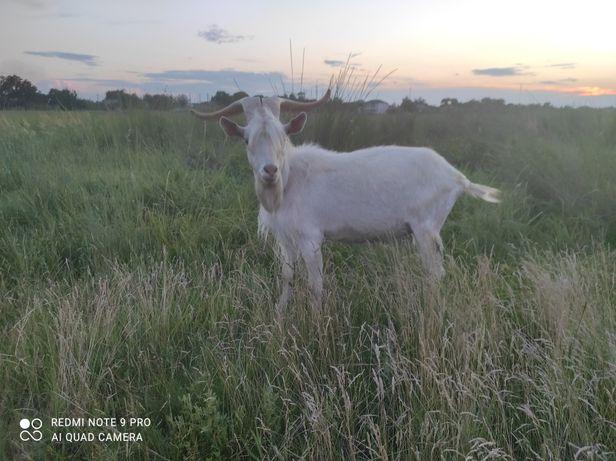 Продам козла зааненского на племя от 5.5 литровой козы