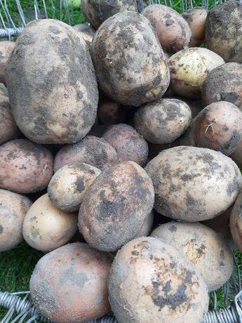 Картопля, картошка, бульба - велика та посадкова