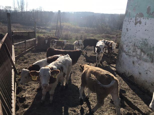 Mięsne Byczki Cielęta