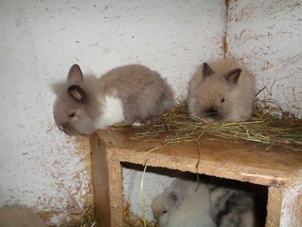 króliczki miniaturowe