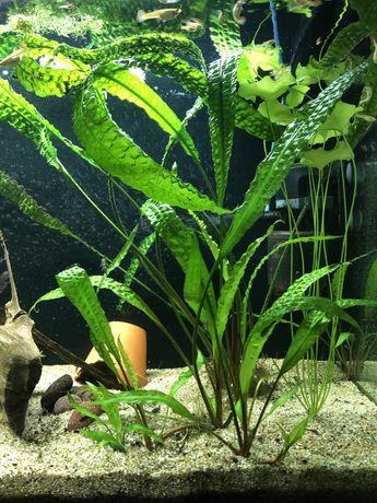 Cryptokoryna karbowana/ roślina akwariowa