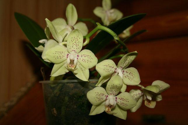 Орхидея фаленопсис Грин Пикси