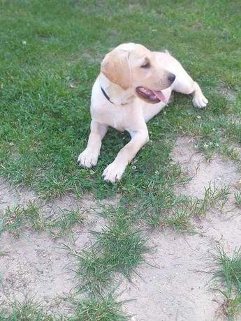 Labrador biszkoptowe (chlopaki)