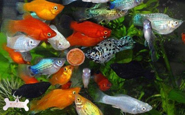 Акваріумні рибки коі, пицилії , молінезії 10 гр.Коряги камні