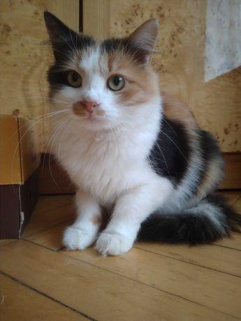 Триколірна киця , вік 1 рік