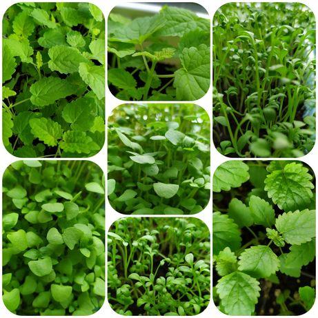 Пряные травы: мелисса, мята, базилик, кресс-салат