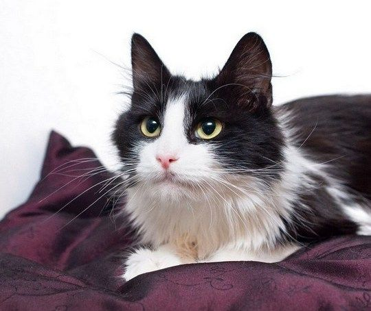 Грациозная черно-белая Мира (котенок-девочка, 4 мес.) настоящая леди!о