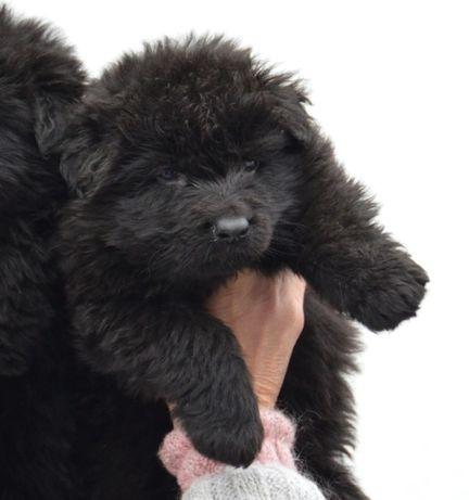 сука КСУ/FCI- черная длинношерстная немецкая овчарка,видео+доставка