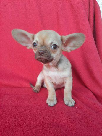 Chihuahua chłopczyki
