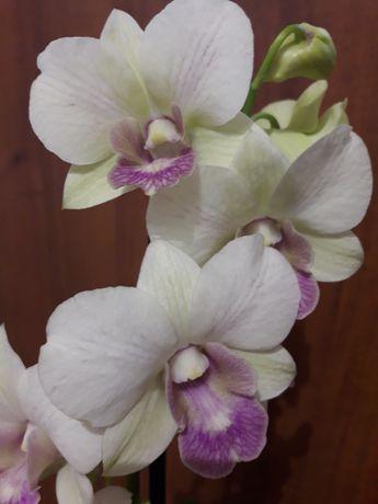 Нежная орхидея дендрофаленопсис
