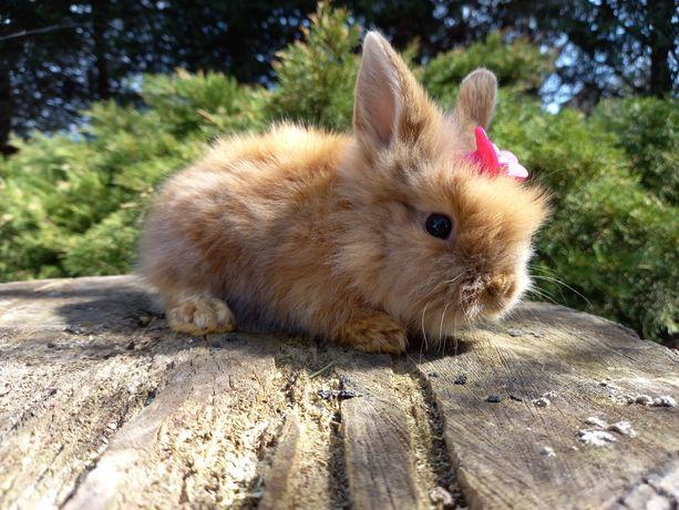 Króliczek królik TEDDY KARZEŁEK miniaturka JEDYNY TAKI W OKOLICY
