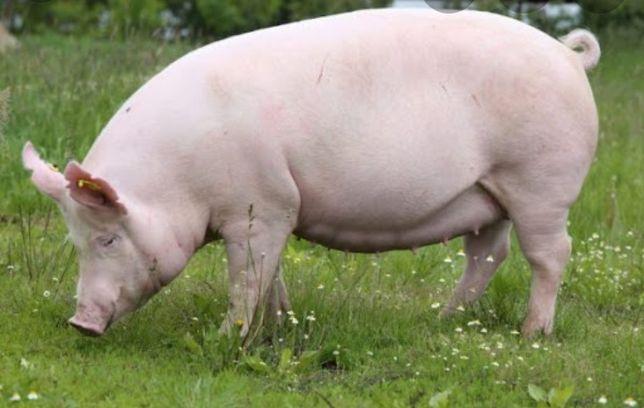 Продам велику свиню