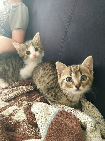 Kociaki oddam Chełmce