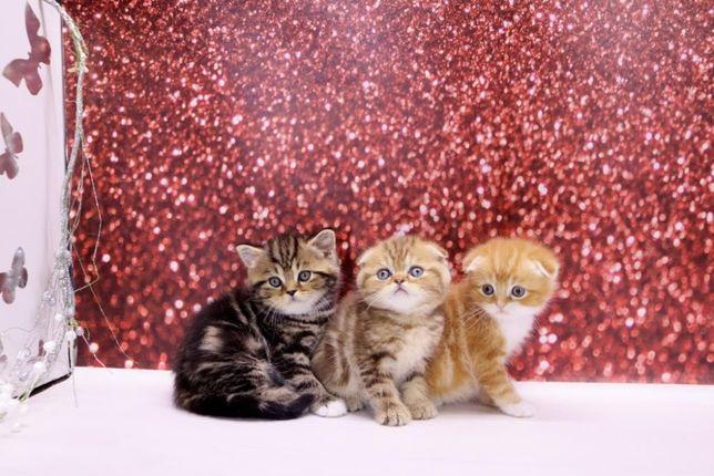 Предлагаю очаровательных плюшевых и пушистых шотландских котят