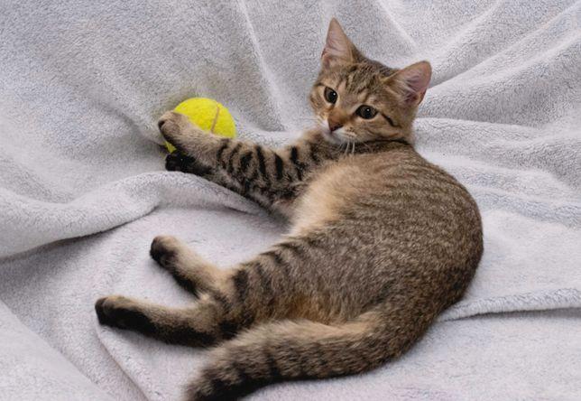 Очень общительный тигристый котёнок Тихон (6 месяцев)
