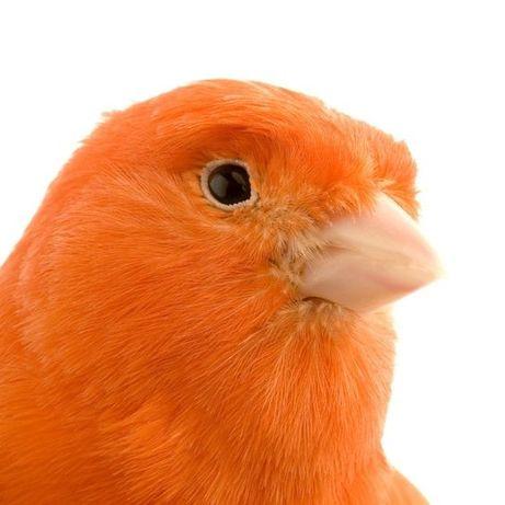 Апельсиновые кенара-оранж