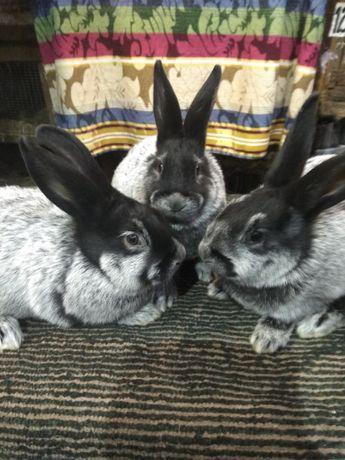 Кролики европейское серебро