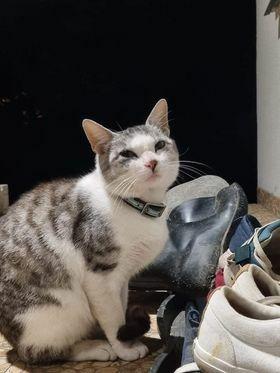 Znaleziono biało-srebrnego kota/kotkę w obroży