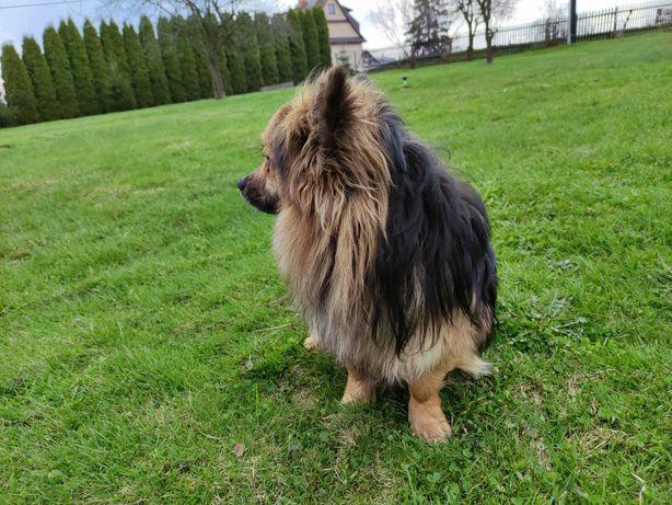 Znaleziony pies - Raba Wyżna