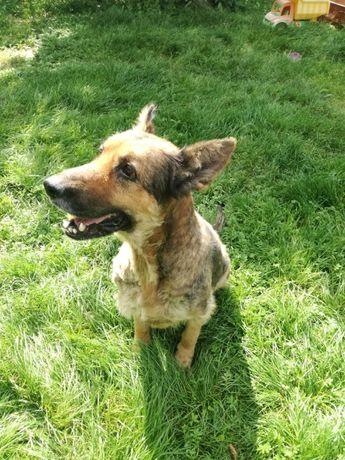 Bella wspaniała owczarka niemiecka szuka kochającego domu!