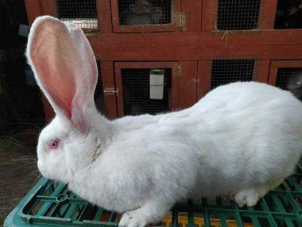 królik (króliki) olbrzym belgijski biały samica