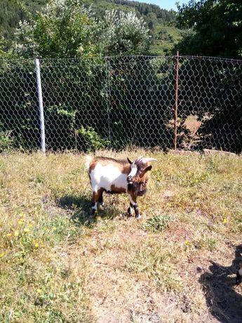 Vendo cabras anãs com 2 anos