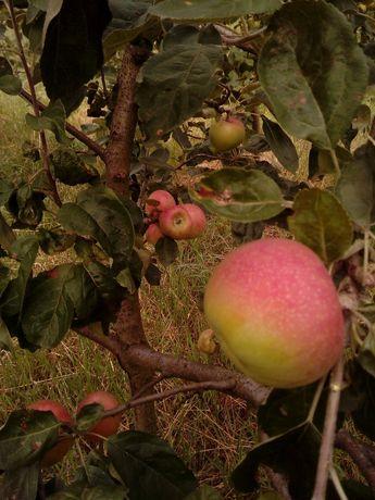 Уникальные саженцы яблони