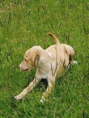 Cão muito fofinho 2 meses labrador pittbull