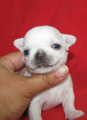 Шикарные щенки чихуахуа