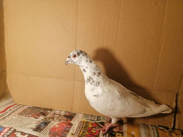 Gołąb pocztowy samiec