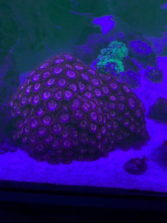 Corais frags—vários