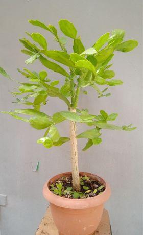 Продам кактусы - Опунция