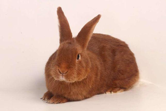 Wiosna 2021 królik króliki Czerwony Nowozelandzki