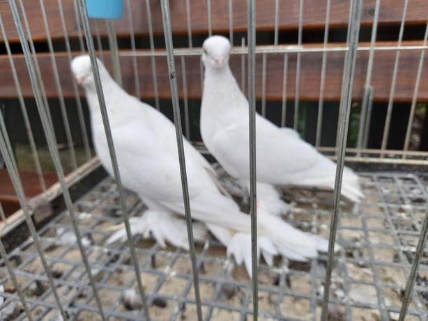 gołębie blawindry