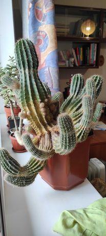 Отдам в добрые руки кактусы
