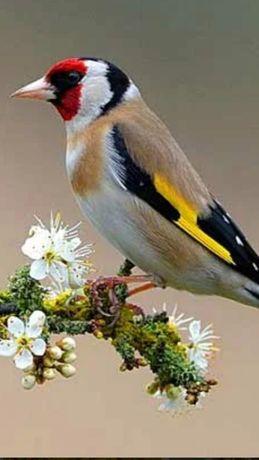 Продам дикую певчую птицу